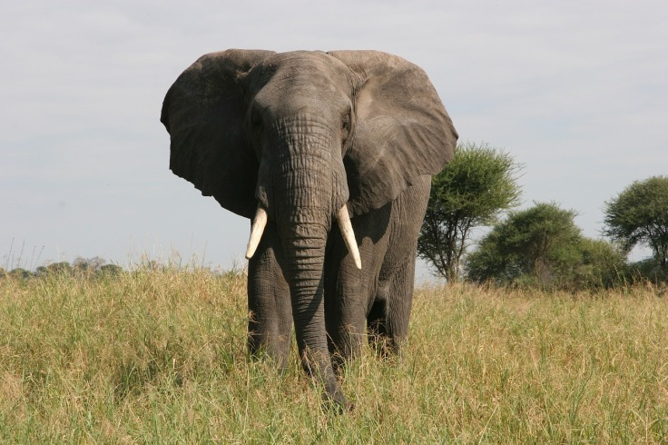 elephant-3426522_1280